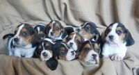 Basset Hound PUPPY FOR SALE ADN-65839 - Basset hound puppies