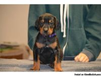 Protective Doberman Pinscher puppies available