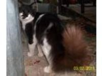 Adopt Muffin a Black & White or Tuxedo Domestic Longhair (long coat) cat in