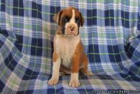 trty Boxer Puppies ready now