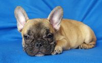 French Bulldog PUPPY FOR SALE ADN-56784 - FrenchieZ PuP