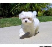 fvsbhdnffh Maltese puppies for sale