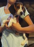 Beagle PUPPY FOR SALE ADN-52442 - AKC Registered Beagle Puppy Male 2