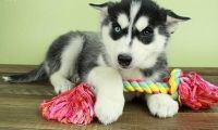 charming classy Siberian husky puppies for sale