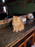 5 Persians and 2 Himalayans in need of new home
