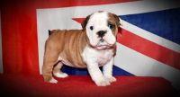 LDOAD M\F English Bulldog Puppies.