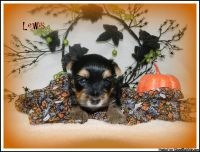 Yorkshire Terrier (Yorkie) puppies available!