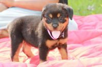 Rottweiler PUPPY FOR SALE ADN-51632 - Raina is ready for her forever home