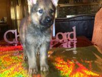 German Shepherd Dog PUPPY FOR SALE ADN-53267 - Christmas Puppies