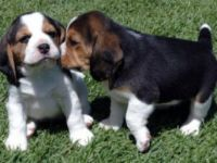 Excellent Akc Beagle Puppies For Re