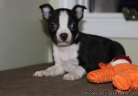 Vulnerable Lucky Boston Terrier Puppies