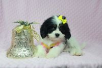 Malspaniel (maltese/Cocker Spaniel) puppies in Las Vegas available for Christmas