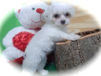 Maltipoo-Cavapoo Mix PUPPY FOR SALE ADN-62679 - Maltipoo Puppies Nonshedding Allergy Free Super Cu