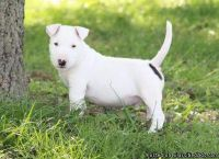 JUDRYFUI BULL TERRIER PUPPIES AVAILABLE FOR SALE Text: (4O4) 692 XX 3714