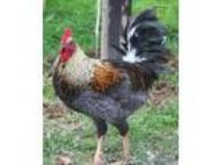 Adopt Roosters a Chicken