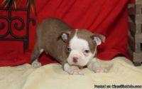 NGVJGUJHKNK Boston Terrier puppies