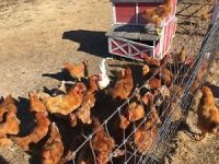 30 Chickens roosters For Sale Vaccine Free Organic Fed cinnamon orpington mix