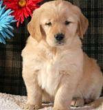 Two Gorgeous, quality AKC Golden Retriever puppies