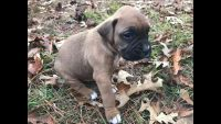 Boxer PUPPY FOR SALE ADN-55744 - Christmas ready Boxer puppies