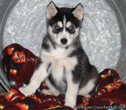 Jean B/G Alaskan Klee Kai Puppies For Sale