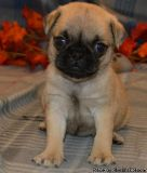 Strong and Healthy Fawn and Black Pug Puppies