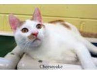 Adopt Cheesecake a Domestic Short Hair