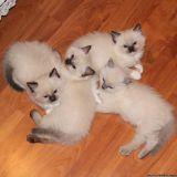 very gentle ragdoll kittens