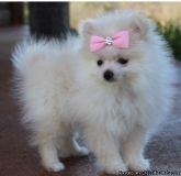 Gleaming white pomeranian puppies available for sale
