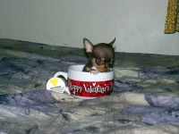 Looking to buy Teacup Male Chihuahua