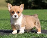 NICE Pembroke Welsh Corgi Puppies Available