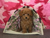 Poodle (Toy) PUPPY FOR SALE ADN-52569 - Teacup Red female Poodle