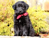 Pomsky-Goldendoodle Mix PUPPY FOR SALE ADN-52132 - Goldendoodle Mix Puppy For Sale