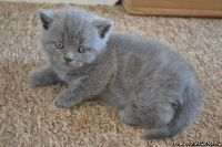 Precious and sweet Scottish fold kittens for sale
