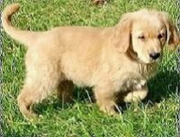 AKC Golden Retriever Puppies Text and sms us at; (724) 7O5 - 9730