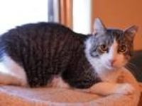 Adopt Daddy Cat a White (Mostly) Domestic Shorthair (short coat) cat in Green