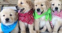 X-mass TRUST-LOVE Golden retriever puppies available, Text me at (385) 218