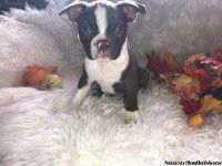Boston terrier puppys