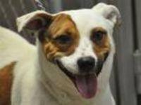Adopt Juliet a Beagle, Labrador Retriever