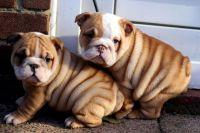 Ujdfddf Nice English Bulldog Puppies