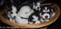 Siberian Husky PUPPY FOR SALE ADN-62281 - Huskies for Sale