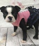 fdsrgrdthr nice Boston terrier puppies ready now