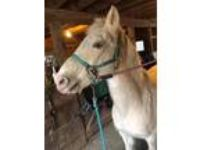 Adopt PATCH a Paint/Pinto / Mixed horse in Chicopee, MA (15221817)
