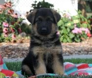 appealing classy German Shepherd puppies for sale