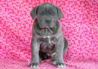Cane Corso PUPPY FOR SALE ADN-64359 - Cane Corso Puppy for Sale