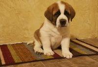 drsterr nice Saint Bernard puppies ready now
