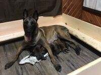 Belgian Malinois PUPPY FOR SALE ADN-63978 - Belgium Malinois Puppies for Sale