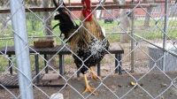 Rooster for trade (Rockport)