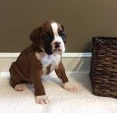 ttwyww Male and female Boxer Puppies