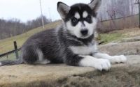 fgtrhhy Siberian husky puppies ready for a lovely home