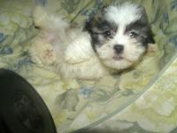 Havashu PUPPY FOR SALE ADN-62681 - love